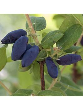 lonicera-k-morena-honeyberry-2l