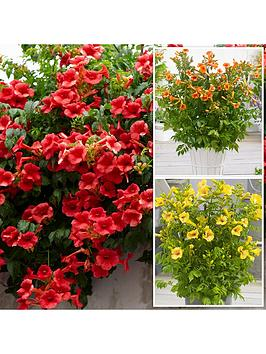 campsis-summer-jazz-collection-3-plants