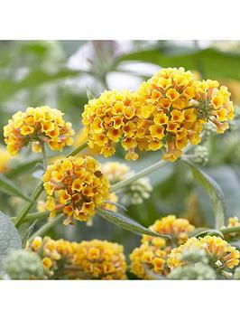 buddleia-sungold-2l