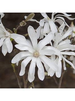 magnolia-stellata-5l