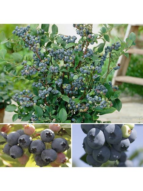 blueberry-collection-3-x-3l