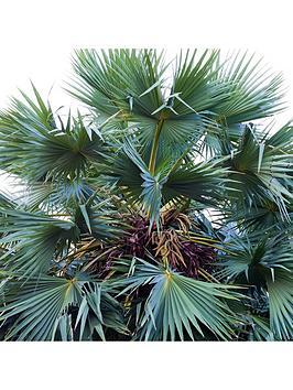 chamerops-humilis-cerifera-hardy-blue-fan-palm-3l