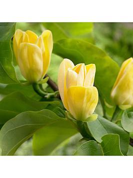 magnolia-brookyellow-bird-3l