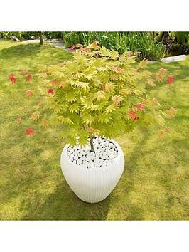 acer-shirasawanum-moonrise-3l