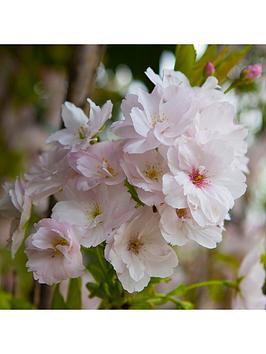 you-garden-flowering-cherry-amanogawa-1-12m-tall-bare-root