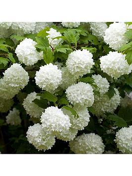 you-garden-viburnum-opulus-roseum-3l