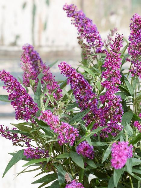 buddleja-davidii-butterfly-tower-2-x-9cm-pot